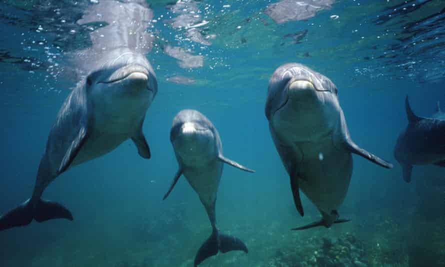 Three bottlenose dolphins, underwater view