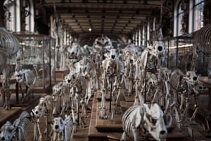 Animal skeletons displayed at the comparative anatomy gallery in the French National Museum of Natural History, in Paris