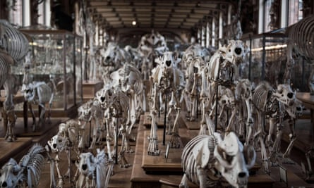 Animals' skeletons displayed at the comparative anatomy gallery of the French museum of Natural History, in Paris.