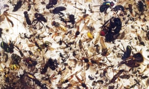 The rate of insect extinction is eight times faster than that of mammals, birds and reptiles.