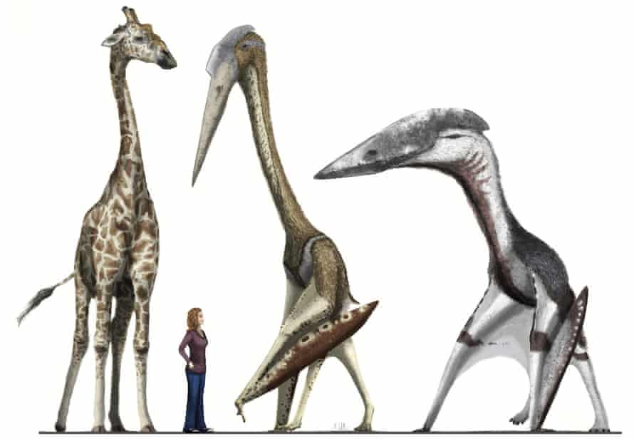 A giraffe and human provide scale for the pterosaurs Arambourgiania (centre) and  Hatzegopteryx (right).