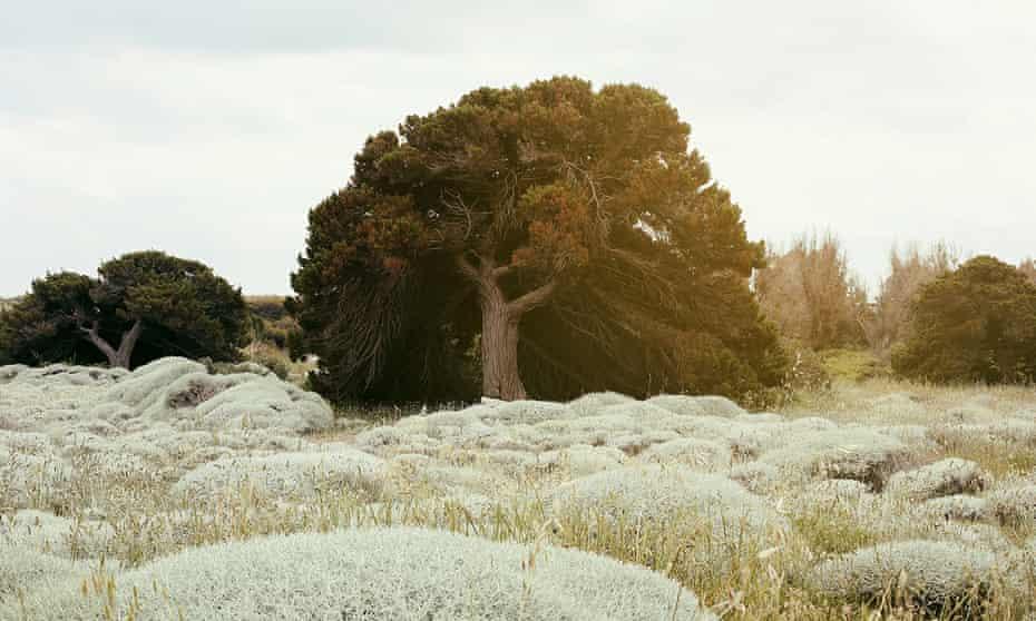 A Phoenician juniper tree