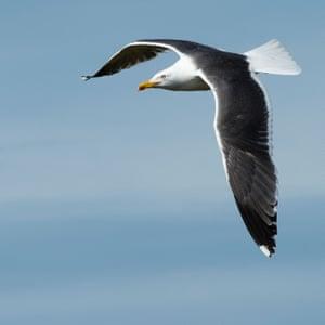 A great black-backed gull in flight.