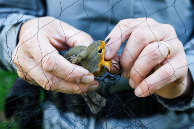 A robin is freed after being trapped in a net. Photograph: WWF Italy