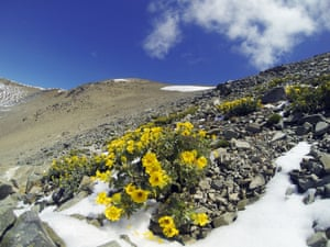 One of the highest-living buttercups in the world, this species is a scree-slope specialist which can only live at altitudes upwards of 1,500m. Specific to a few regions of the South Island, they bloom in the summer months.