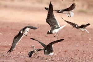 Seagulls flying in the island of Sir Bu Nayer off the coast of Abu Dhabi, UAE