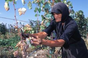 Elderly peasant woman picking grapes Kakheti Province Georgia