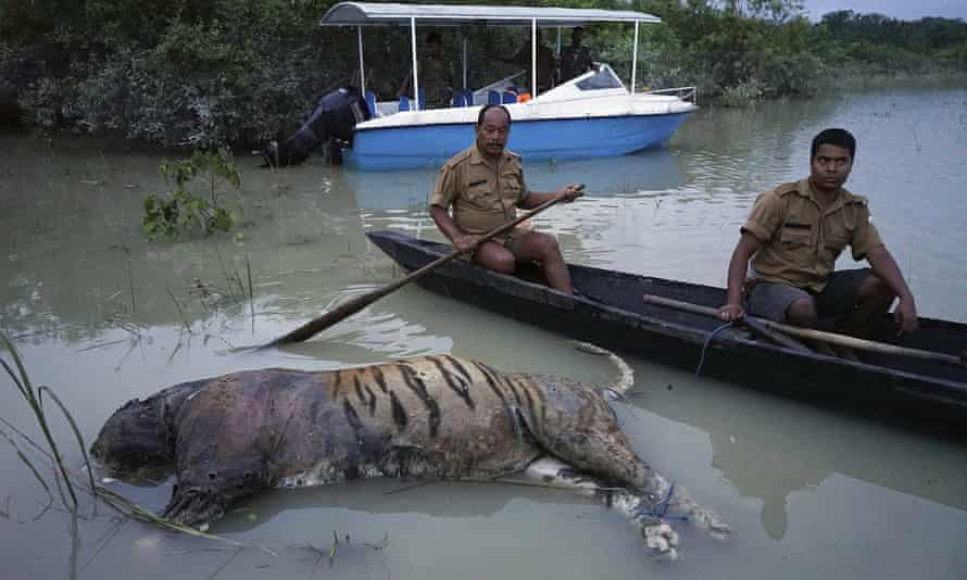 A tiger killed by floods in the north-eastern Indian state of Assam.