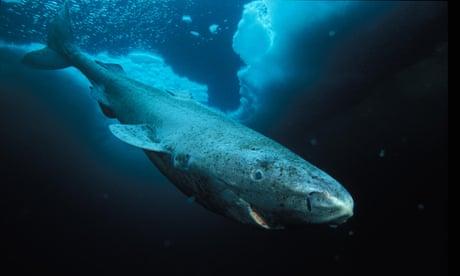 400-year-old Greenland shark is oldest vertebrate animal