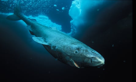 A Greenland shark, seen off Canada.