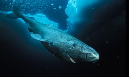 A Greenland shark in Lancaster Sound, Nunavut, Northwest Territories, Canada.