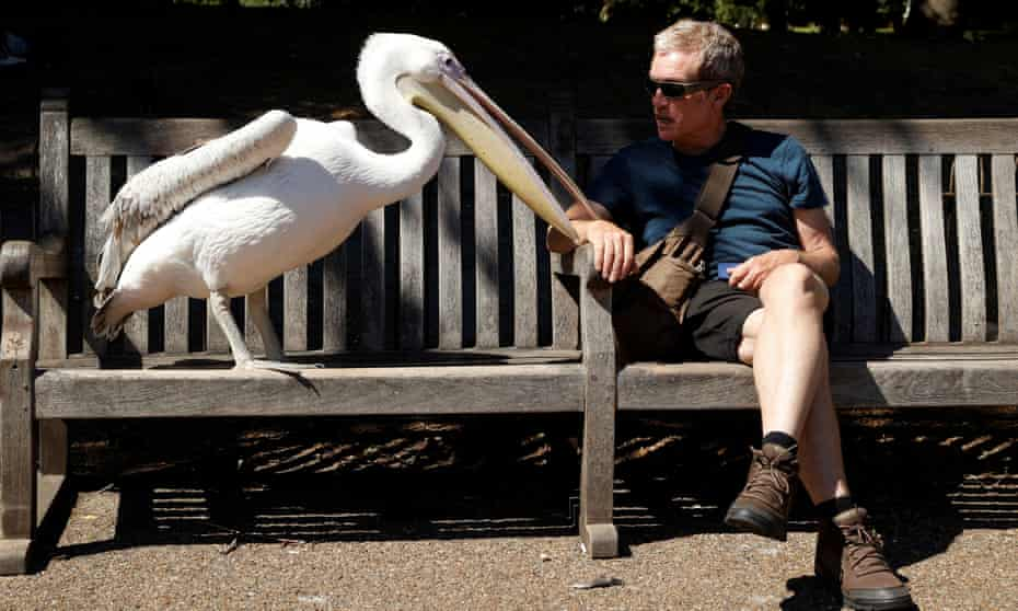 A pelican in St James's Park, London.