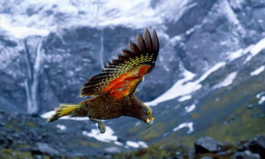Kea the world's only mountain parrot in flight.