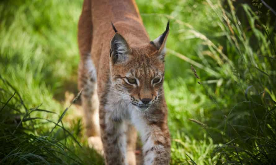 A surviving lynx at Borth Wild Animal Kingdom.