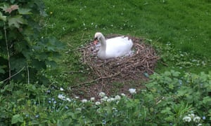 A swan sits on its nest on a grassy bank