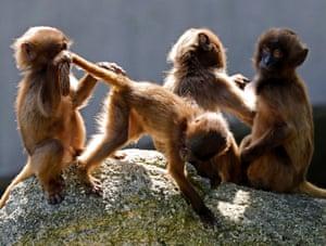 Young Gelada play in Wilhelma Zoo in Stuttgart, Germany