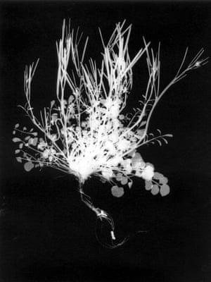 Cardamine hirsutum-Hairy bittercress