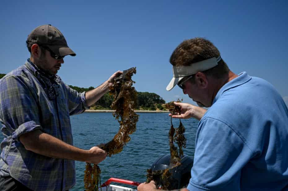 Sean Barrett, left, and Steve Schott examine sugar kelp on a research trip in Montauk, New York.