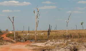 The price of leather: cattle out to pasture in Brazil. The grassland was until recently forest.