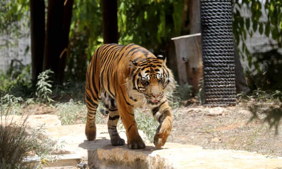 The woman was among staff cleaning and carrying out maintenance work in the big cats' enclosure of a safari park in the city of Rancagua.