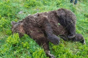 A brown bear shot dead in Ariege, in south-west France
