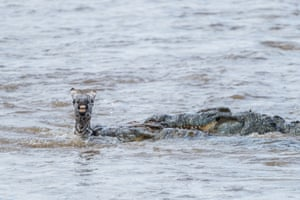 A crocodile snatches a zebra foal as it tries to cross a river in Masai Mara, Kenya