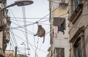 A wild rhesus macaque sits on the electricity cable in the Gandaria area of Dhaka, Bangladesh.