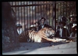 A tiger at London zoo