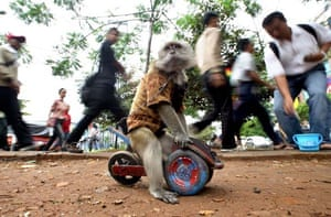 A monkey performs a show