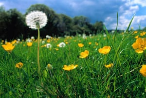 Dandelions and buttercups in a meadow in Cornwall