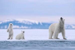 A polar bear and her cubs