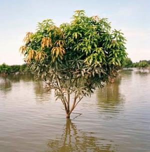 A flooded mango plantation in India
