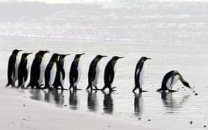 Monarch penguins prepare to get into the ocean
