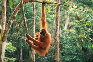 An orang-utan with infant hanging from branch