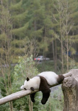 A giant panda sleeps on the shelves built for them to play at the Wolong Giant Panda Bear Research Center