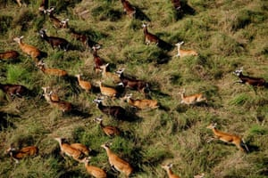 A herd of white-eared Kob, Boma National Park