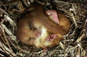 A dormouse in Horsham, Sussex