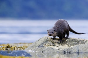 A European otter on the Isle of Mull, Scotland