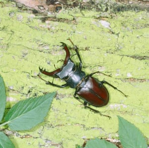 A stag beetle
