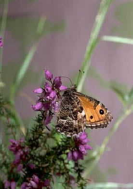 A grayling butterfly
