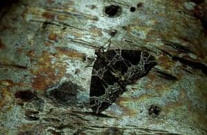 A small phoenix moth
