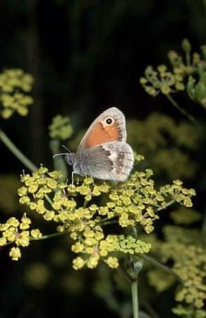 A small heath butterfly
