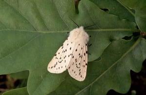 A white ermine moth