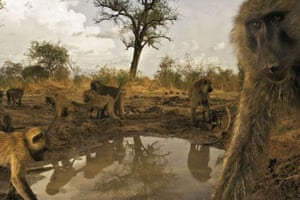 Baboons, Zakouma National Park, Chad