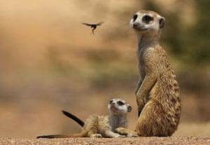 Meerkats in South Africa s Tswalu Kalahari reserve