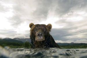 Brown bear, Ozernaya River in southern Kamchatka, East Russia