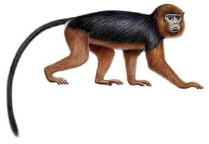 Miss Waldron's red colobus
