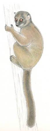 Lemur sahamalazensis