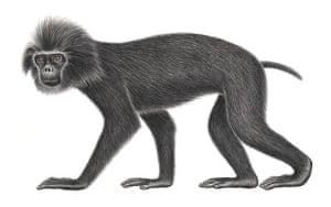 Pig-tailed langur