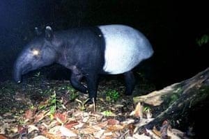 A tapir in Sumatra